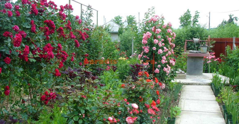 Spre fântână, printre trandafiri