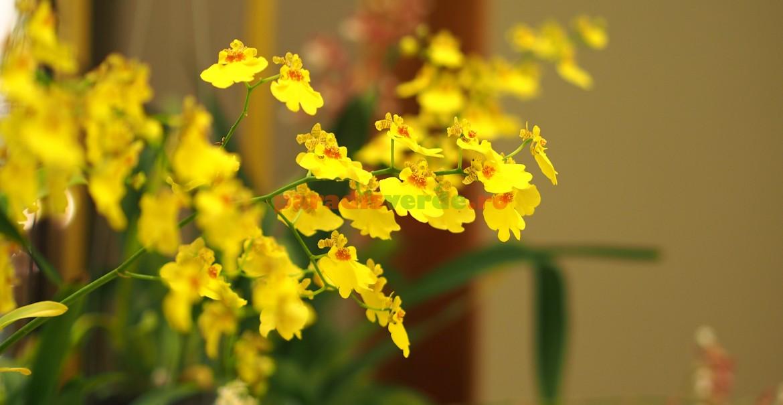 Oncidium - udare generoasă doar în perioadele de creștere activă