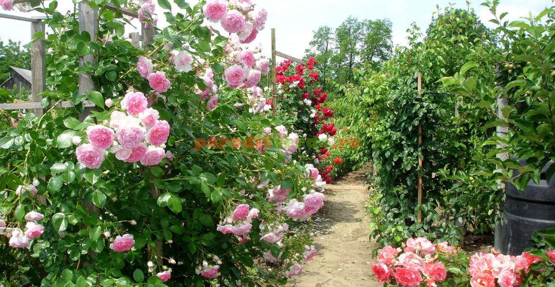 Pomi și trandafiri: o splendoare!
