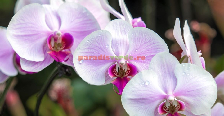 Phalaenopsis - pământul trebuie să se usuce între udări