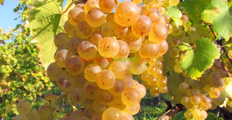 Struguri albi la un pas de a fi transformați în vin