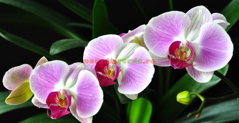 Udarea corectă, foarte importată pentru înflorirea orhideelor