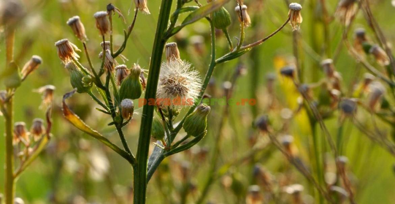 tratament articular după plante medicinale)