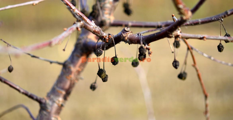 Cireșe mumificate, sursă de infecție cu monilioză pentru anul următor
