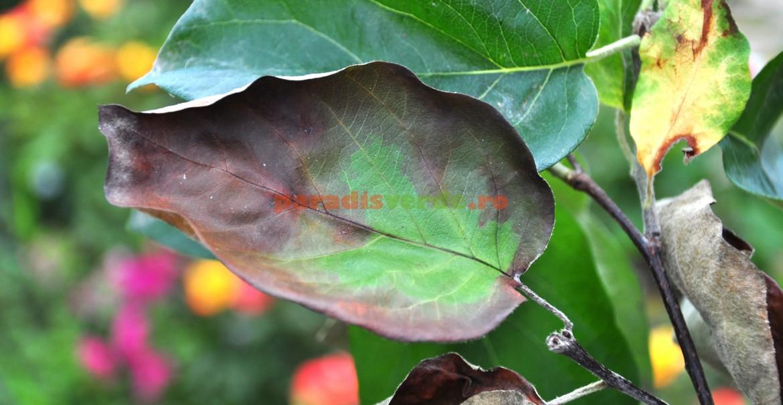 Frunze de gutui în plin proces de necrozare, cauzat de focul bacterian