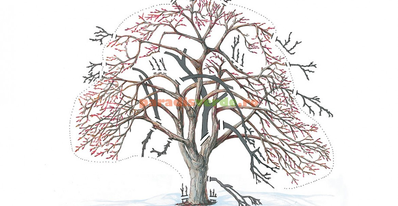 Schemă orientativă pentru tăierile de întinerire la pomii bătrâni