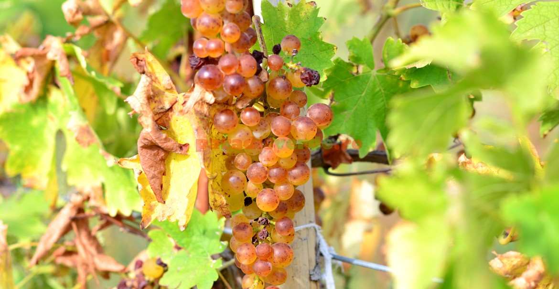 Din astfel de struguri se obține un vin licoros aromat fabulos!