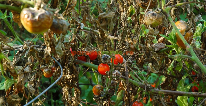 Epidemie de mană la tomate