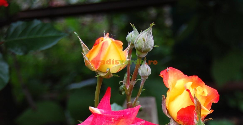 Boboci de trandafir acoperiți cu făinare