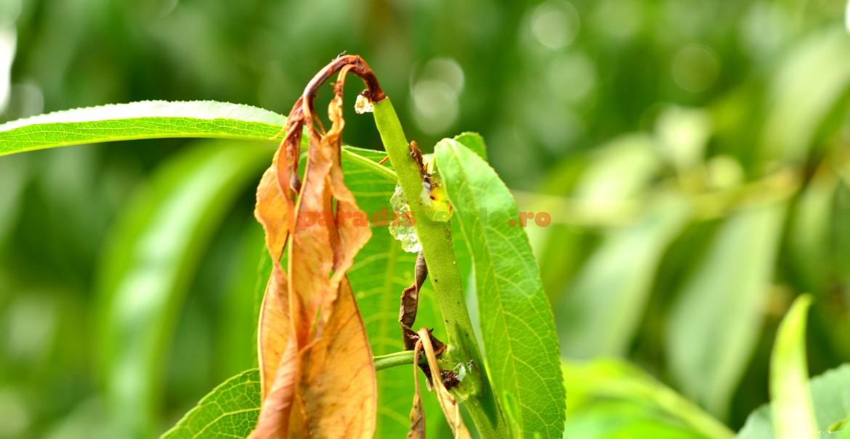 Lăstar atacat de larvă a moliei orientale a piersicului