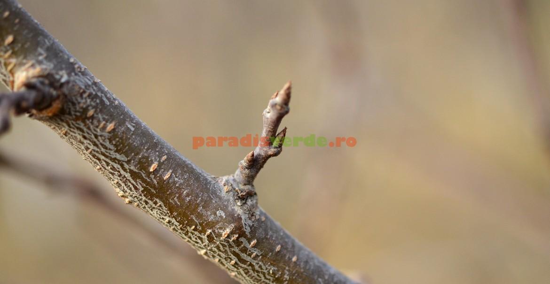 Pinten - ramură prefloriferă de prun