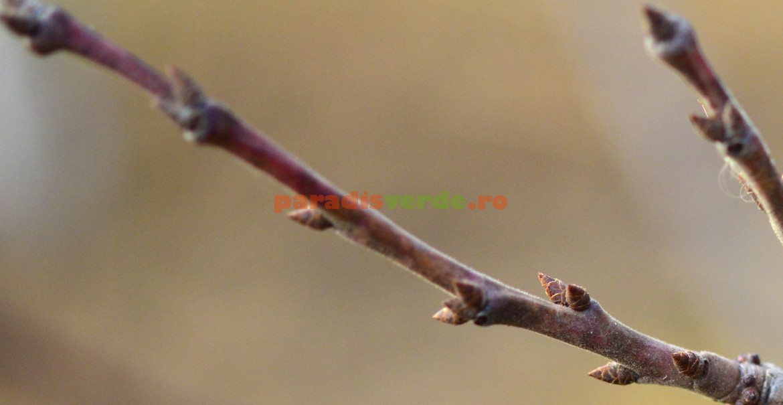 Ramura mixtă - ramură floriferă de prun