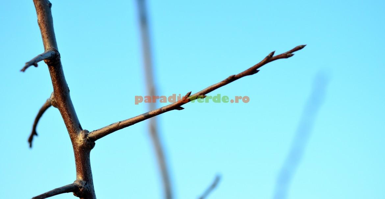 Smicea - ramură prefloriferă de prun