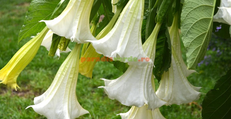 Datura cu flori albe