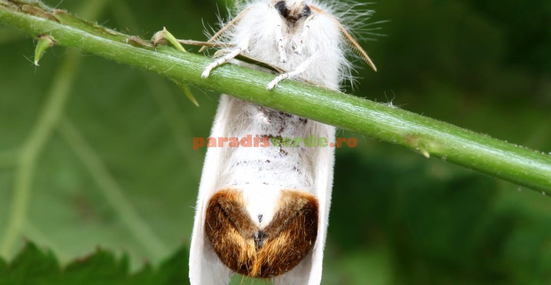 Fluturele cu abdomen auriu: adult, parte dorsală