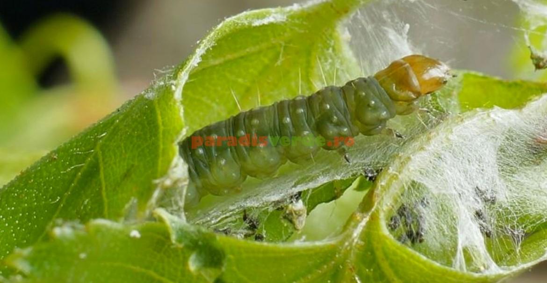 Larva moliei pieliței fructelor, pregătită de împupare