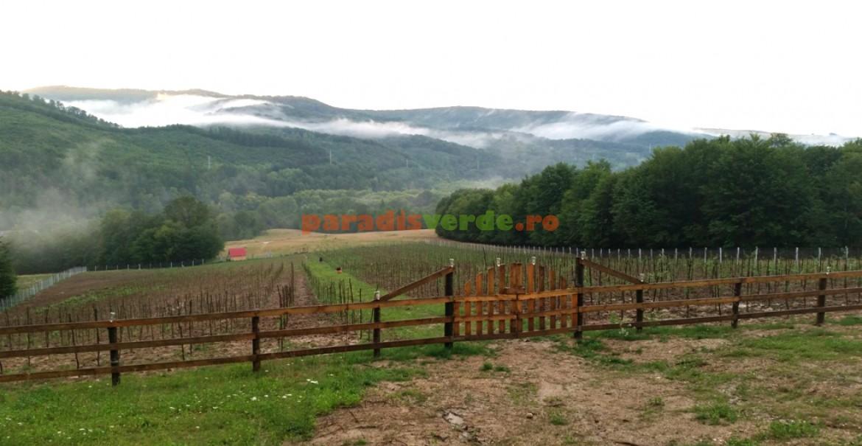 Plantația de goji de la Podeele Mici
