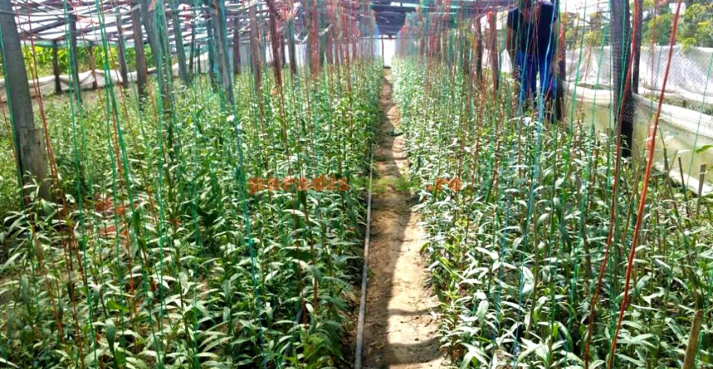 Plante de goji, aproape pregătite de comercializare