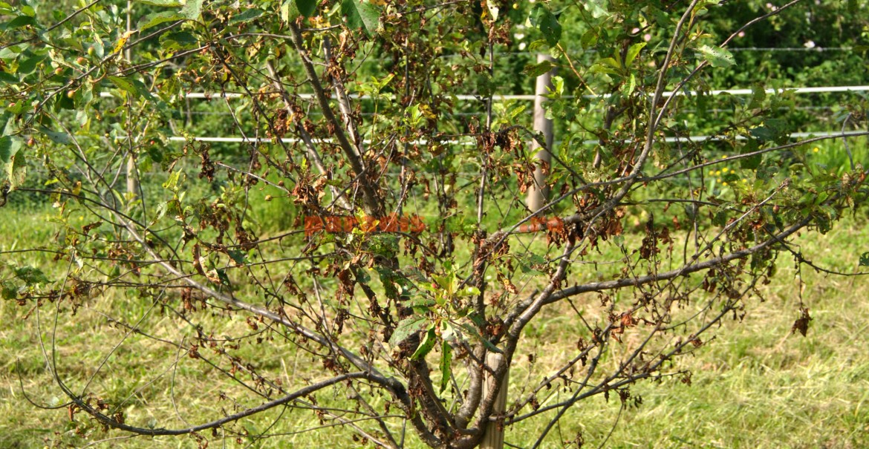 Cireș puternic atacat de ciuruirea frunzelor