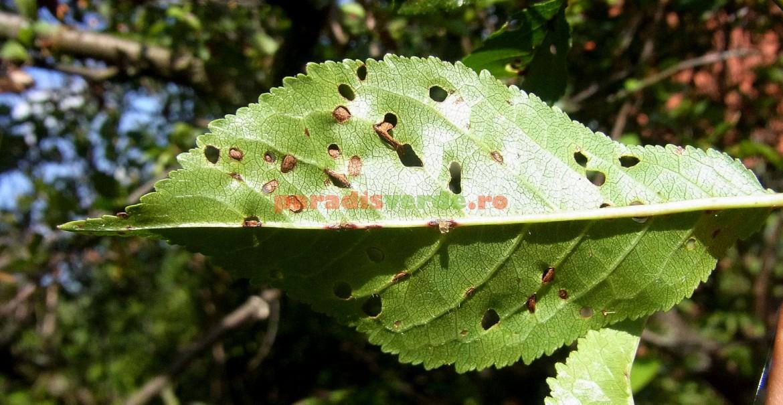 Frunză de cireș cu țesut ciuruit