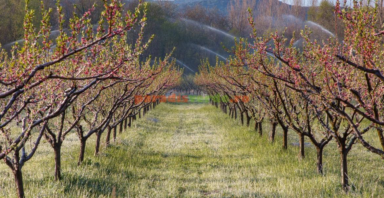 Livadă protejată de efectele brumei prin irigare cu aspersoare