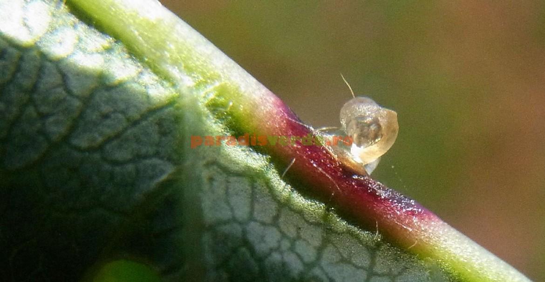 Scurgeri de clei cauzat de atacul ciupercii Stigmina carpophilla