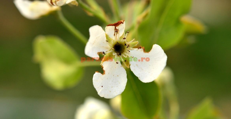 Florile atacate de gândacul păros nu mai rodesc