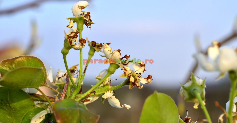 Flori atacate de gândacul păros