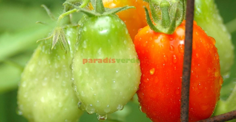 Rețeta bolii la plante: stopi de apă, prezența agenților patogeni și un pic de căldură