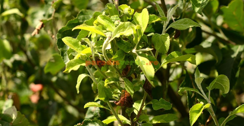 Lăstari de măr nou apăruți după eradicarea unei colonii de păduchele verde