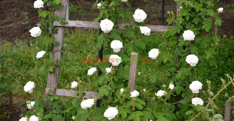 Trandafirul Madame Hardy