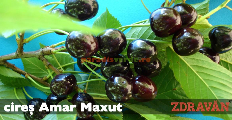 cireș Amar Maxut