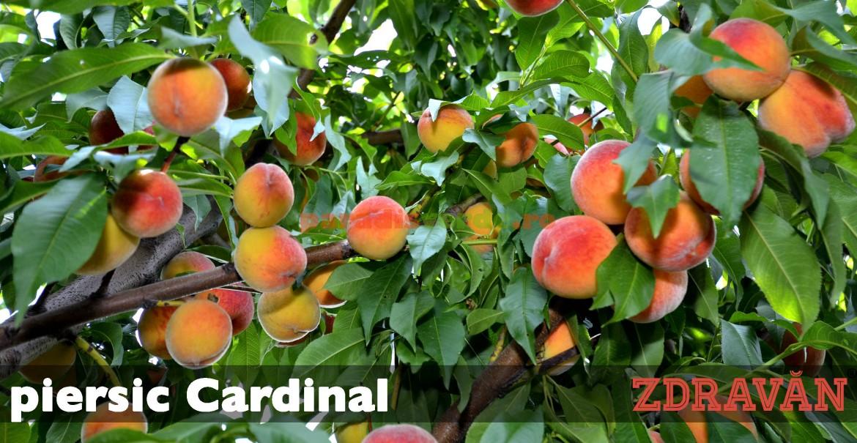 piersic Cardinal