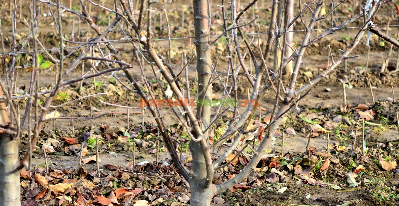 Fenofaza după căderea frunzelor la măr
