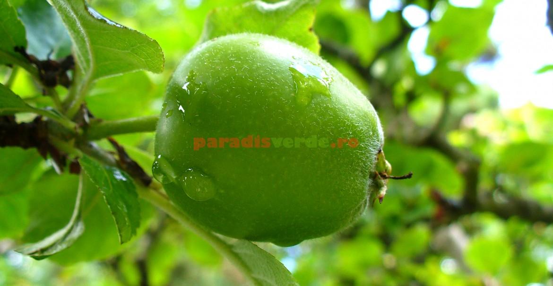 Măr de 2-2,5 cm