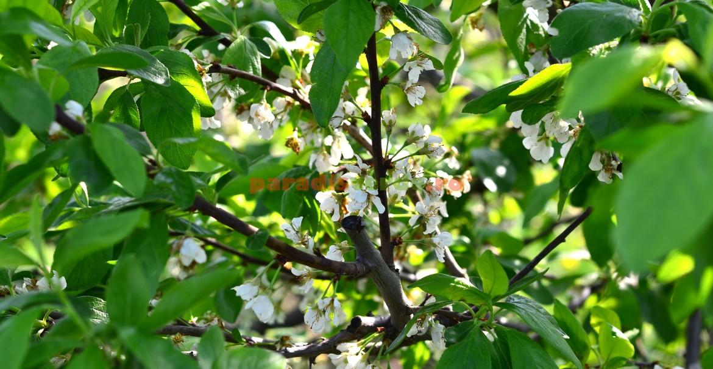 Fenofaza 30% petale scuturate, la prun