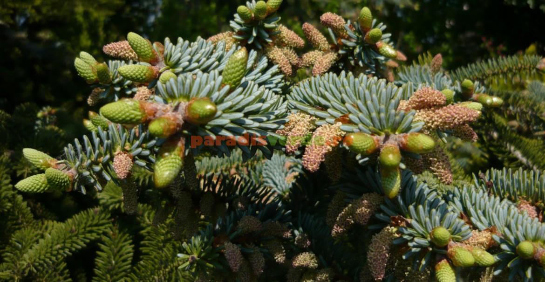 Brad nobil verde-albastrui - Abies nobilis