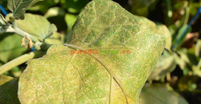 Frunză de pătlăgică vânătă atacată masiv de păianjenul roșu