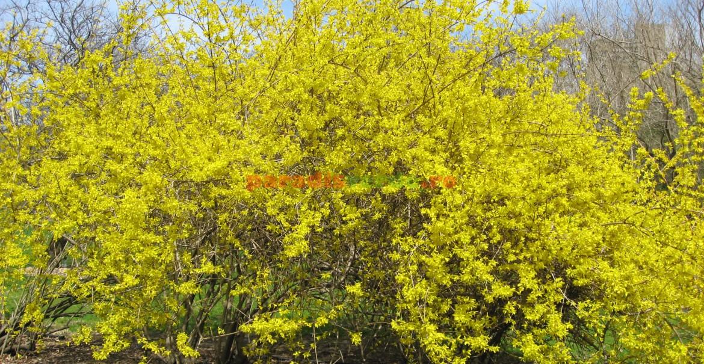 """Forsiția """"Spring Glory"""": talie medie și flori de culoarea galben pai"""