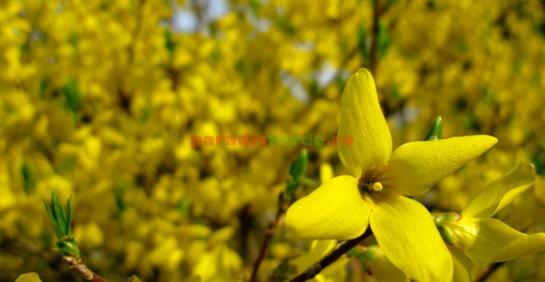 Forsythia ovata: flori galbene, solitare. Este varietatea cu vigoarea cea mai mică