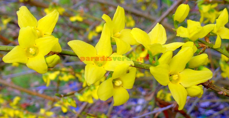 "Forsiția ""Beatrix Farand"": ramuri arcuite, flori mari, galben intens"