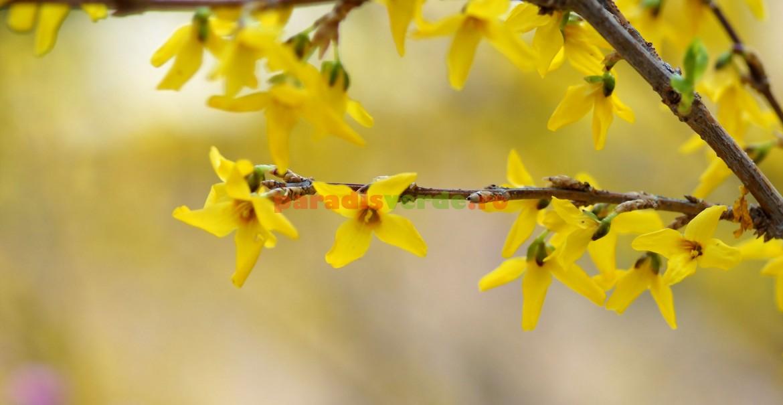 Forsythia suspensa: ramuri arcuite, cu flori mari, aurii, grupate câte 2-3, ce apar înaintea frunzelor