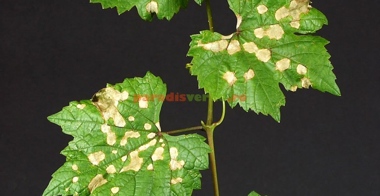 Efectele putregaiului negru asupra frunzelor viței de vie