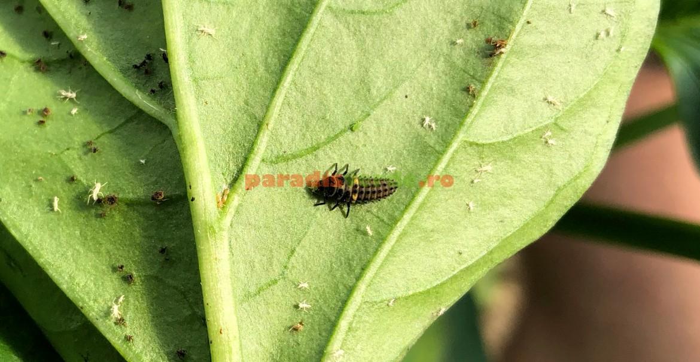Larvă de buburuză savurând niște dăunători pe o frunză de ardei