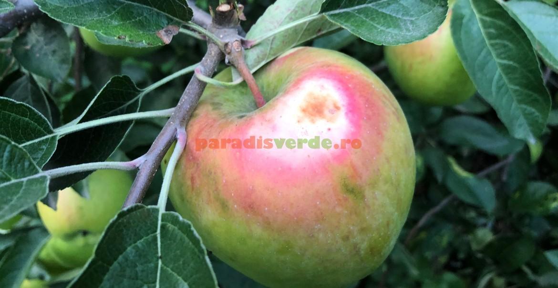 Măr cu arsură, în stadiu incipient