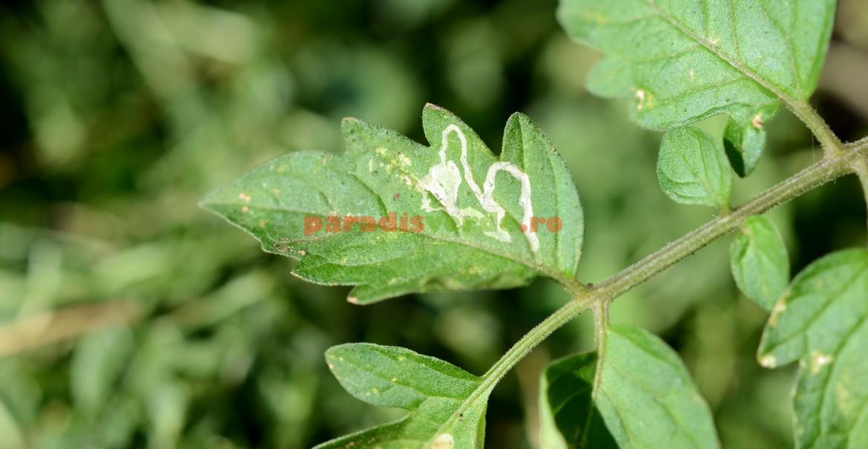 Semnătura larvei muștei miniere pe frunza de tomate