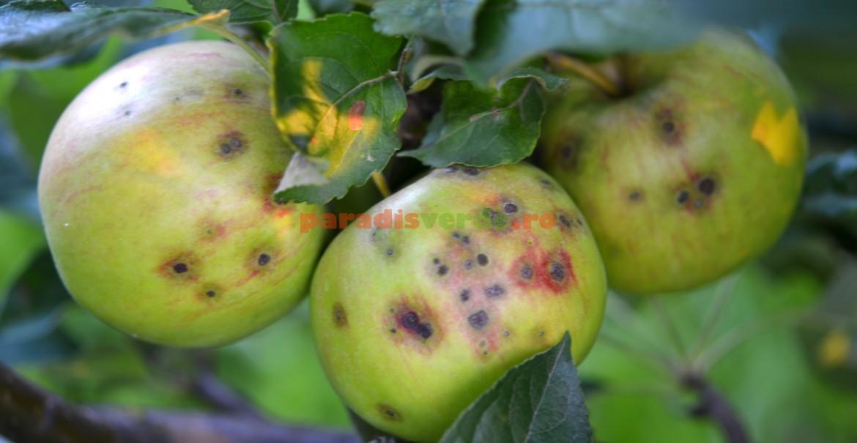 Atac de rapăn pe mere