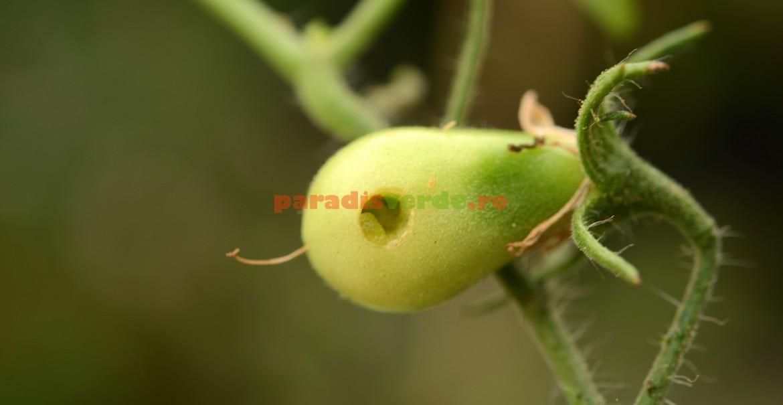 Tomatele sunt atacate în toate stadiile de dezvoltare