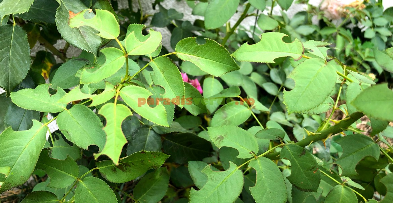 Perforaţii în frunzele de trandafiri făcute de albina croitoare.