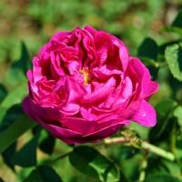 Rose de Rescht (trandafir de dulceaţă)